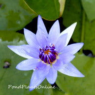 Colorata | Tropical Water Lily