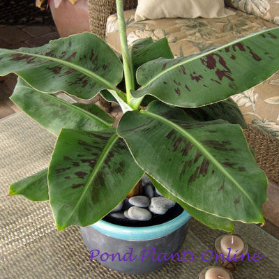 "Dwarf Banana 'Truly Tiny' | Musa Variegated Red | 3.5"" POT"