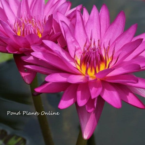 Hot Pink | Tropical Water Lily