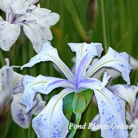 Mottled Beauty Iris<br>Japanese Aquatic Bog