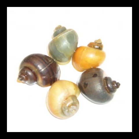 Pond Snail Mix | Pomacea bridgesii
