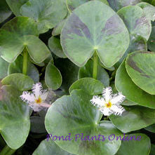 White Snowflakes | Nymphoides indica 'Montana' | Potted