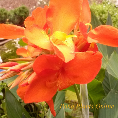 "Orange Punch Canna | 3.5"" Pot"