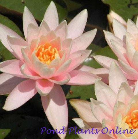 Patio Joe | Peach Hardy Water Lily | Ships Spring 2019