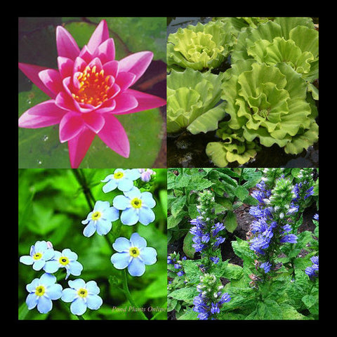 Small Water Garden Collection | Pink Hardy