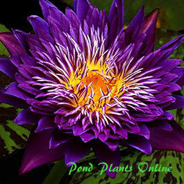 Plum Crazy | Tropical Water Lily