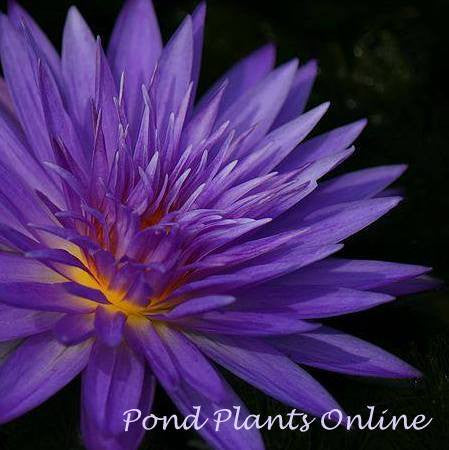 Ultra Violet | Tropical Water Lily