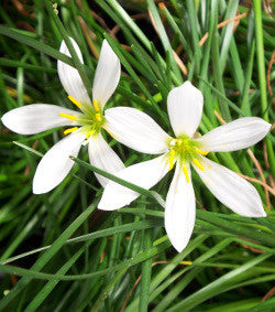 "Zephyr Lily ""Rain Lily"" 