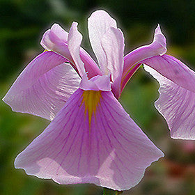 Rose Queen Iris<br>Ensata 'Rose Queen'