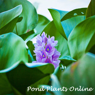 Water Hyacinth (Eichornia crassipes)