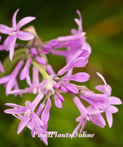 Green Society Garlic | Tulbaghia violacea