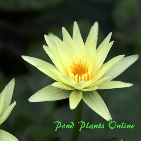 St. Louis Gold Water Lily