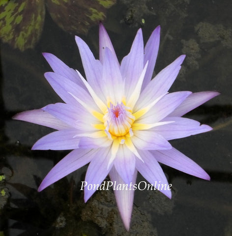 Star of Siam | Tropical Water Lily | Available Spring 2021