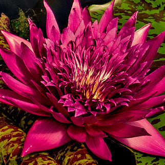 Tropic Punch | Tropical Water Lily