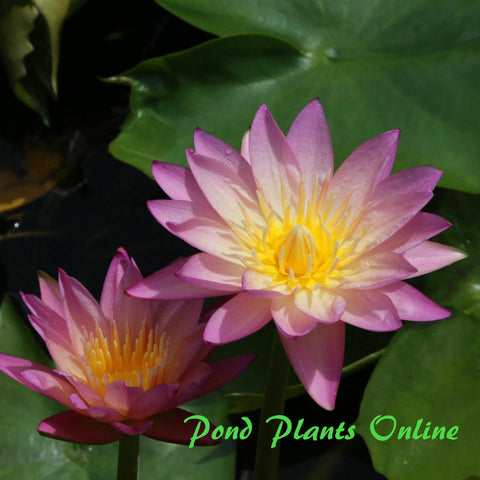 Tropic Sunset Water Lily