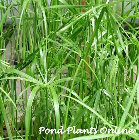 "Umbrella Palm (Cyperus alternifolius)  | 3.5"" Pot"