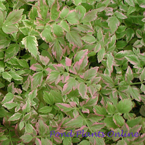 Variegated Water Celery | Oenanthe javonica 'flamingo' | Available Spring 2021