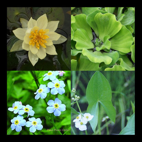 Small Water Garden Collection | Yellow Hardy