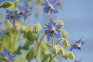 Borage Edible Flower
