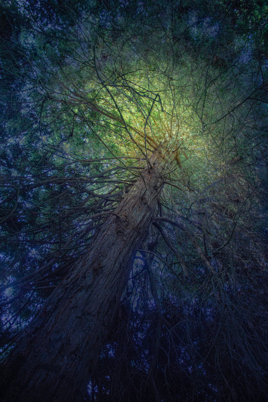 "Fine Art Photography of  ""Catching High Light"", a tree in Golden Gate Park. The result of a six-week photographic exploration by artist and educator Nico van Dongen"