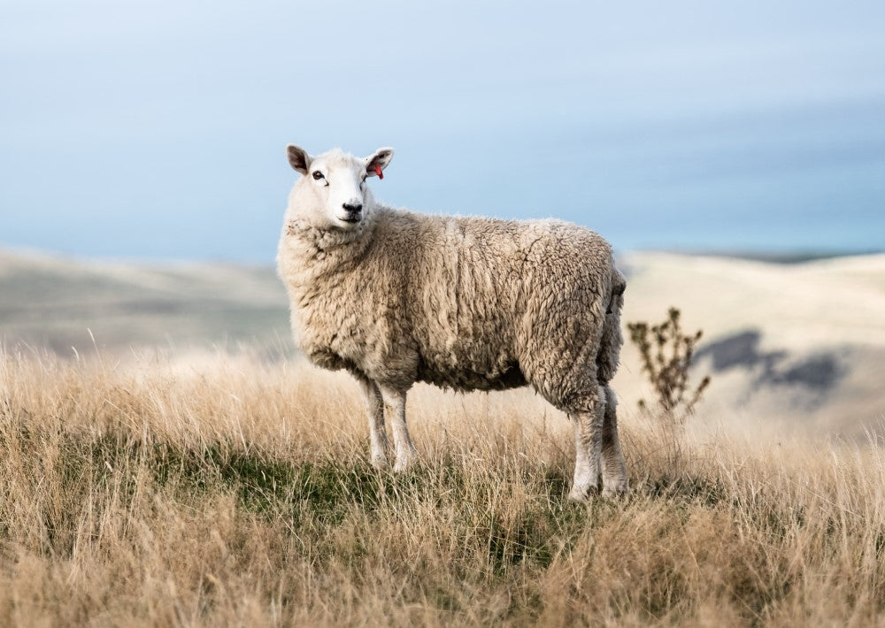 sheep stands in field