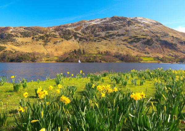 Daffodils at Ullswater