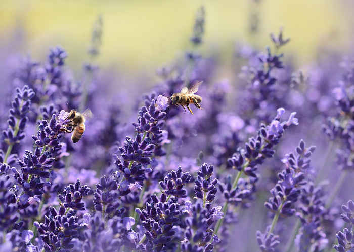 lavender honeybees