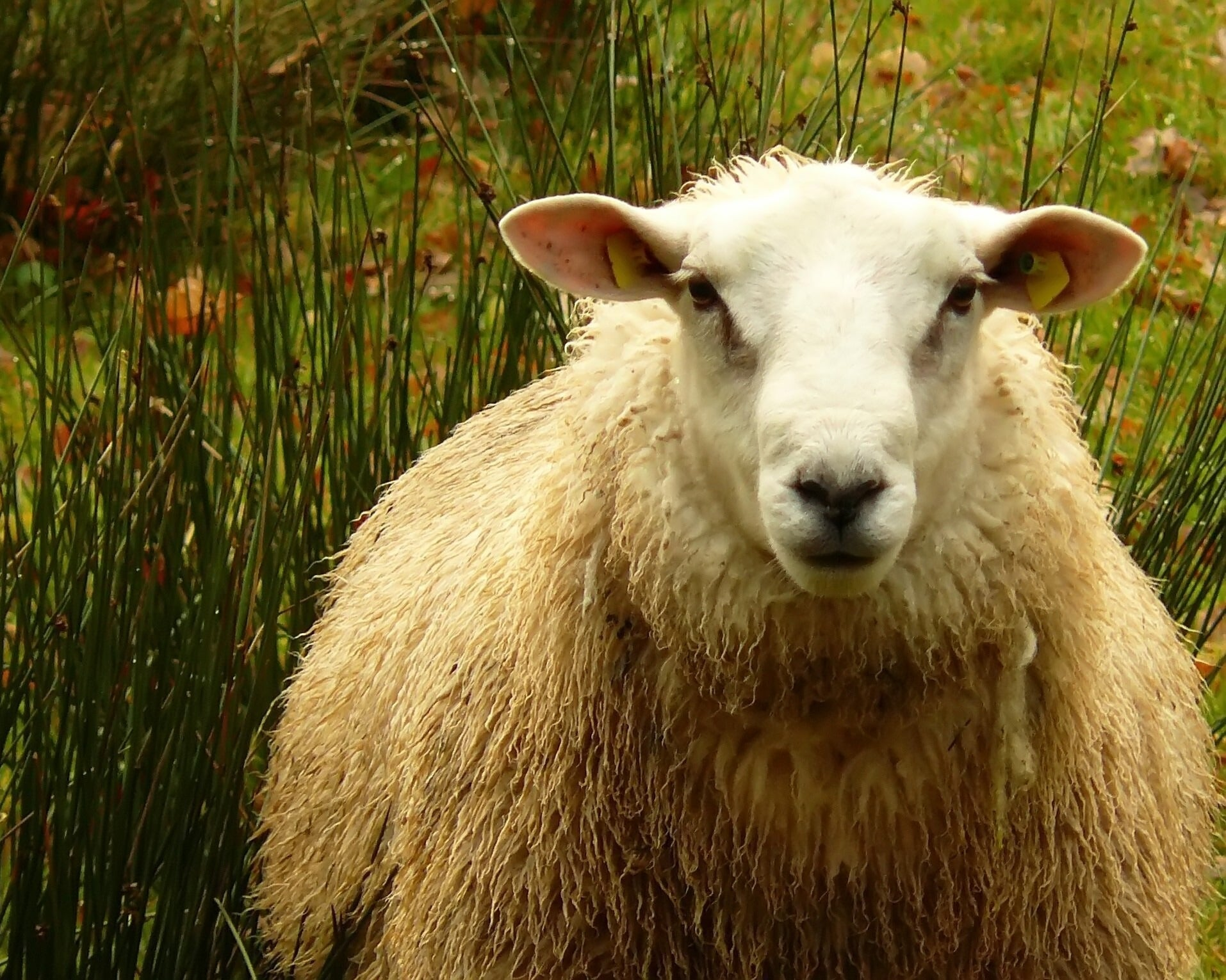 british wool sheep
