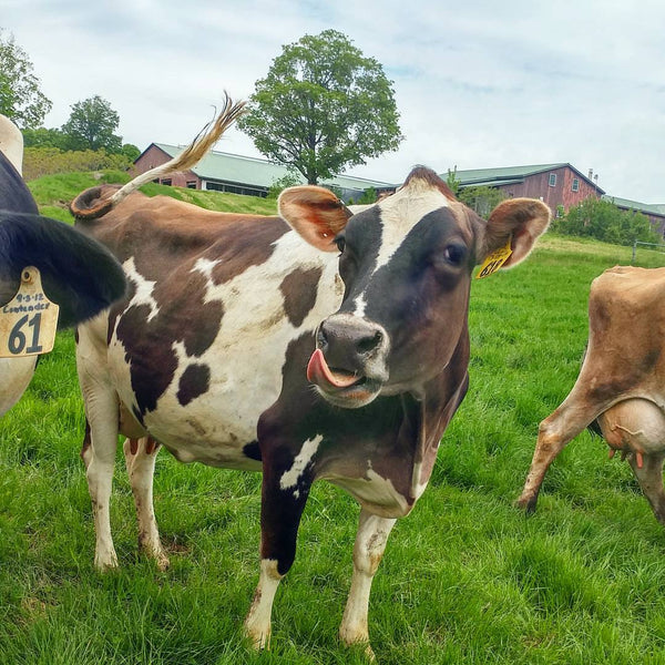VERMONT FARMSTEAD FAQ: How does a dairy cow spend its day?