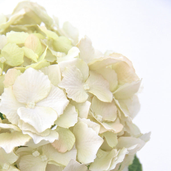 cream lacecap hydrangeas - bunch of 6 stems