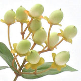 white/green hypericum berries