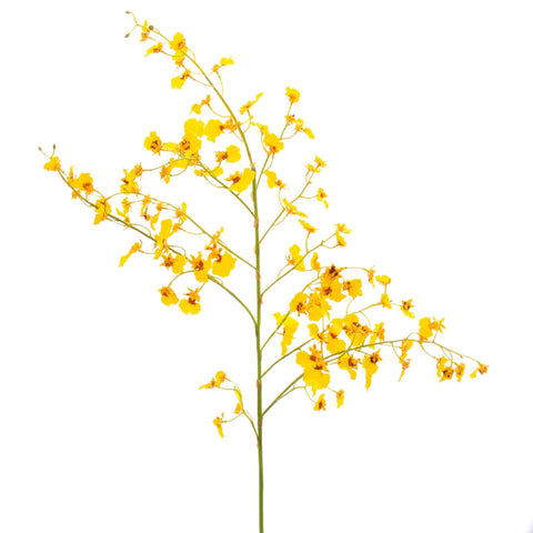 yellow oncidium stem