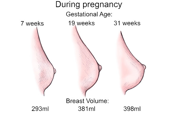 breast size and volume increases