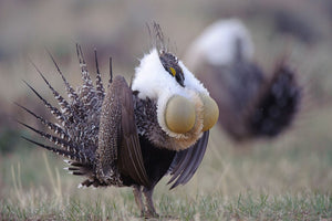 the chest popping sage grouse and you