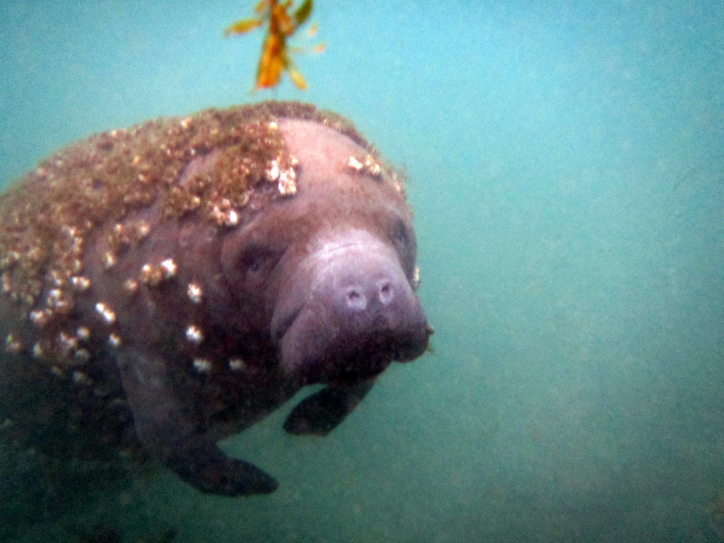 An open letter to the West Indian Manatee
