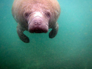 It's Time For Manatees (And Us!) to Swim To Save Our Lives
