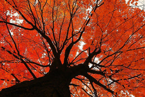 Autumn Maple - Catalog Entry - Andrew Moor Photography