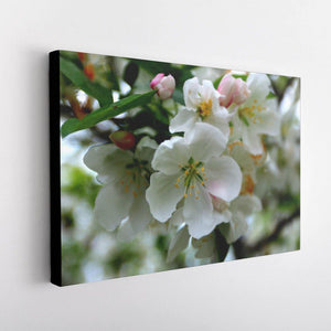 Cherry Blossoms Canvas - Black Edges - Andrew Moor Photography