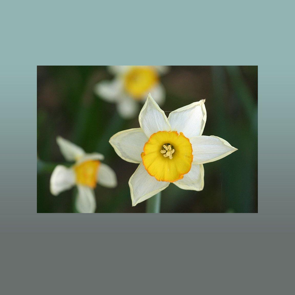 Daffodil Image - Andrew Moor Photography