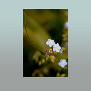 Forget-me-nots Image - Andrew Moor Photography