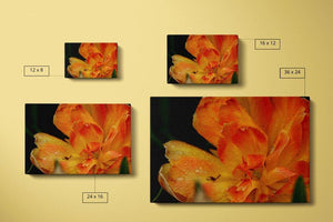 Orange Tulip Canvas Compare Main - Andrew Moor Photography