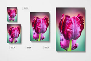 Purple Tulip Canvas Sizes - Andrew Moor Photography