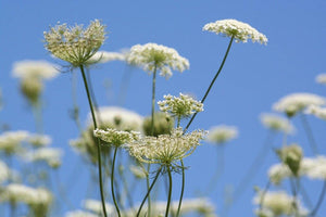 Queen Anne's Lace Catalogue - Andrew Moor Photography
