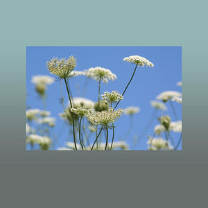 Queen Annes Lace Image - Andrew Moor Photography