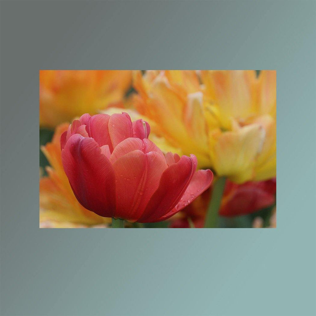 Solo Pink Tulip Image Main - Andrew Moor Photography