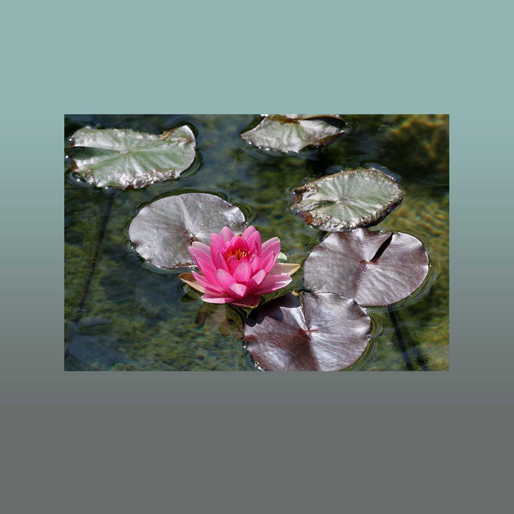 Solo Pink Water Lily Image - Andrew Moor Photography