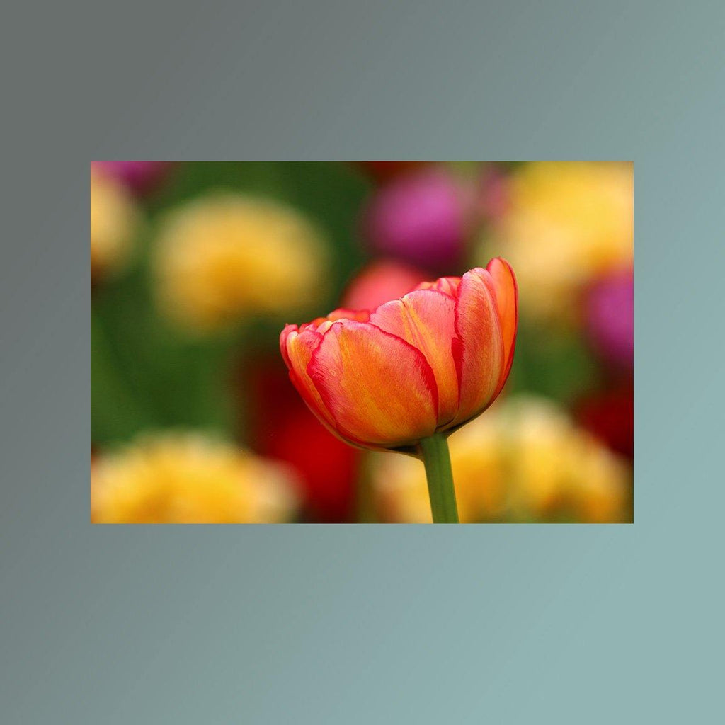 Solo Pink and Yellow Tulip Image - Andrew Moor Photography