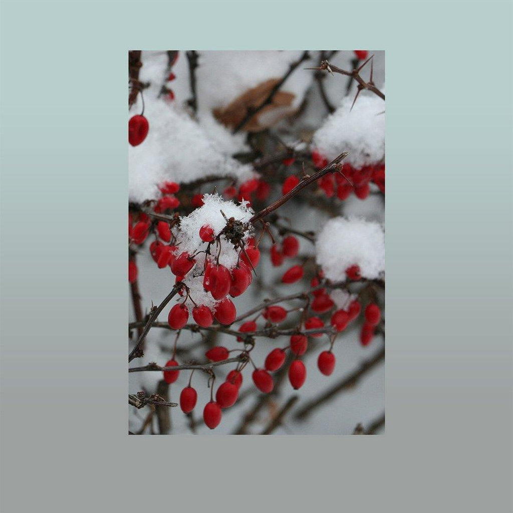 Winter Berries Image - Andrew Moor Photography