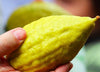 Lulav & Etrog: Widest Selection in the Southern hemisphere ! - Lulav & Etrog - Sukkahmart South Africa