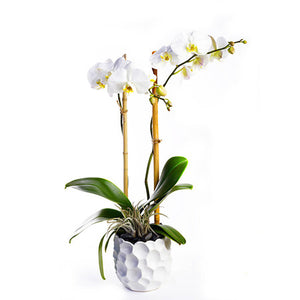 Custom Orchid Plant Design